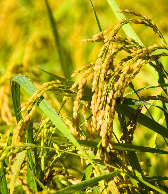 Rice fields in autumn